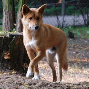 dingo zoo