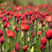 tulipany_.jpg